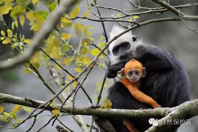 title='广西白头叶猴国家级自然保护区'